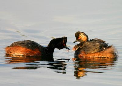 Black-necked grebe / Perkoz zausznik - Biebrzański National Park, Poland