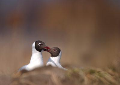 Laughing gulls / Mewy śmieszki - Biebrzański National Park, Poland