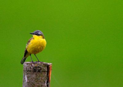 Yellow wagtail / Pliszka zółta - Biebrzański National Park, Poland