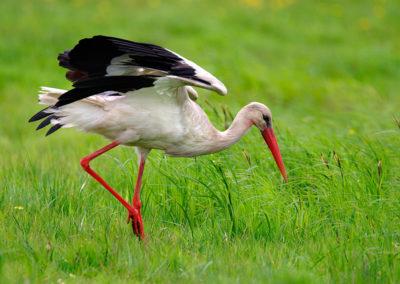 White stork / Bocian biały - Biebrzański National Park, Poland