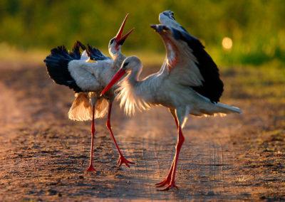 White storks / Bociany białe - Biebrzański National Park, Poland