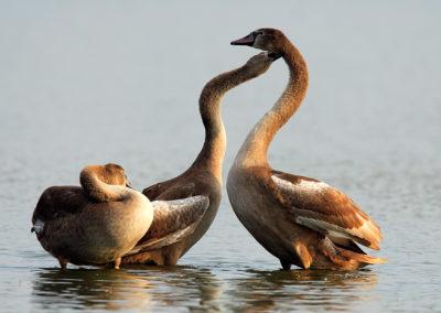 Juvenile Mute Swans / Młodociane Łabędzie Nieme - Biebrzański National Park, Poland
