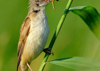 Reed Warbler / Trzcinniczek - Biebrzański National Park, Poland