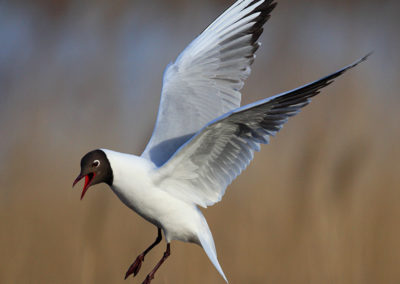 Laughing gull / Mewa śmieszka - Biebrzański National Park, Poland