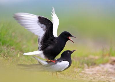 White-winged Black Terns / Rybitwy Białoskrzydłe - Biebrzański National Park, Poland