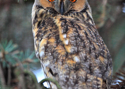 Long-eared owl / Sowa uszata - Podkarpacie, Poland