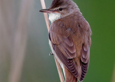 The Great Reed Warbler / Trzciniak - Biebrzański National Park, Poland