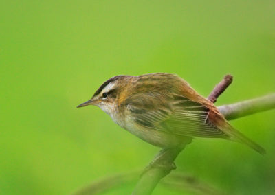 The Sedge Warbler / Rokitniczka - Biebrzański National Park, Poland