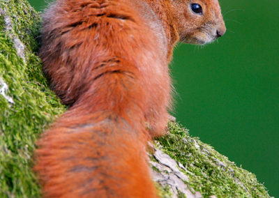 Red Squirrel / Wiewiórka pospolita
